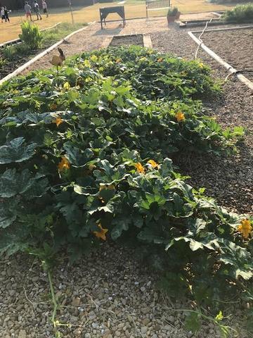Look at those pumpkin vines!
