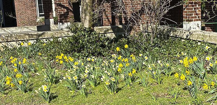 Spring Daffodils near Dewey Dorm