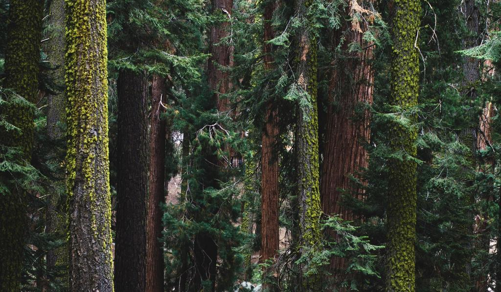 Picture of sequoia trees