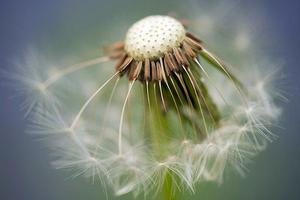common-dandelion-335662_640.jpg