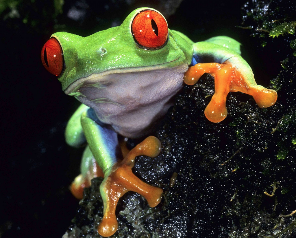 Picture of red-eye tree frog