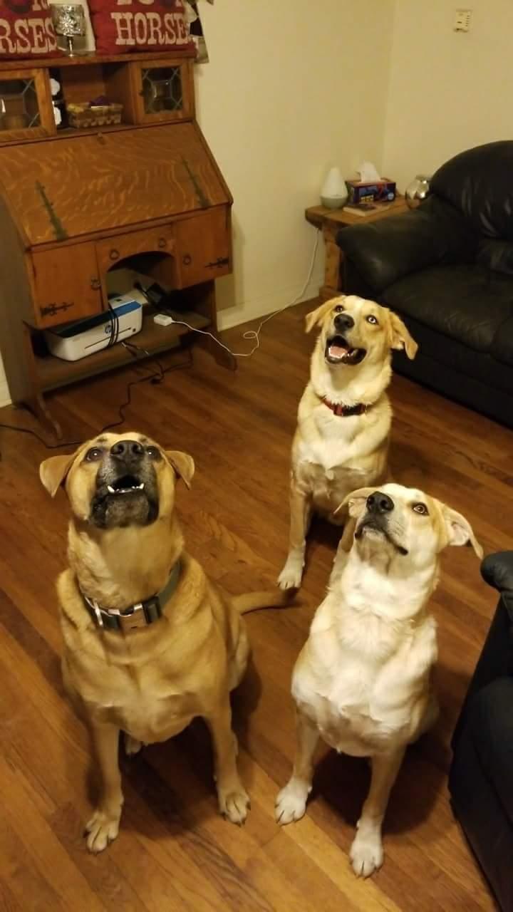 My Big Boys! Dogs.