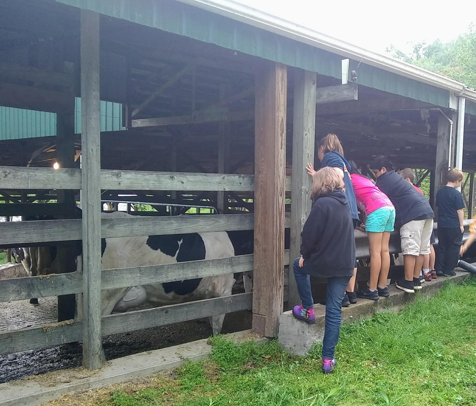 kids looking into the cow shed
