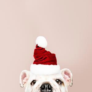 Bulldog with Santa hat