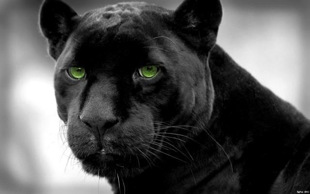 Panther Team