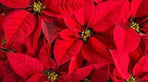 Picture of Poinsettia