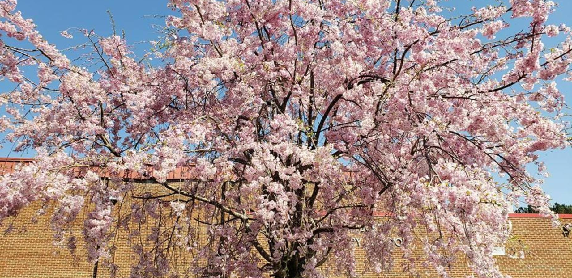 Photo of tree in bloom this spring.