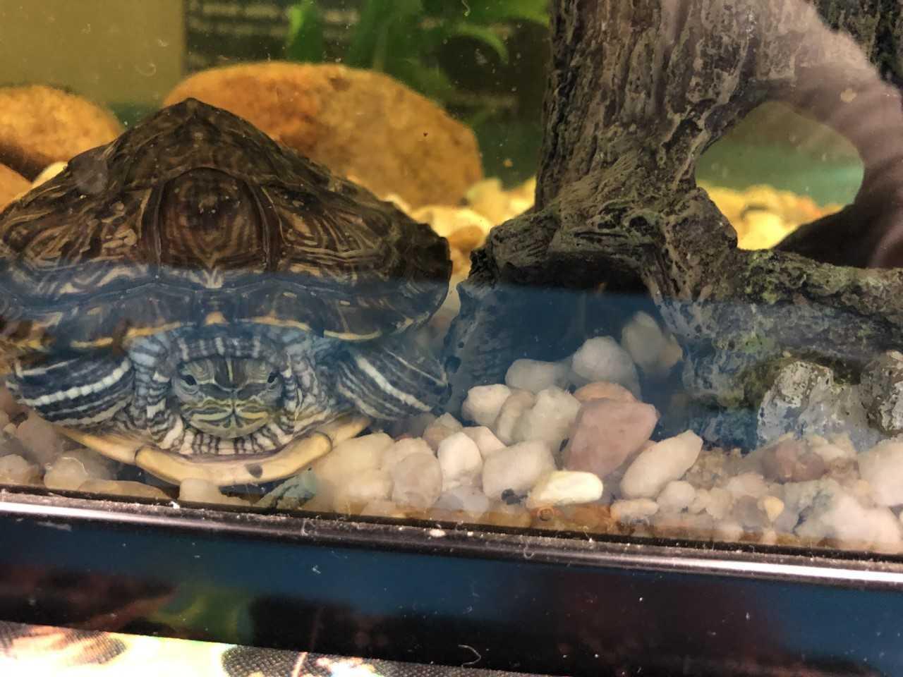 Tulula the turtle