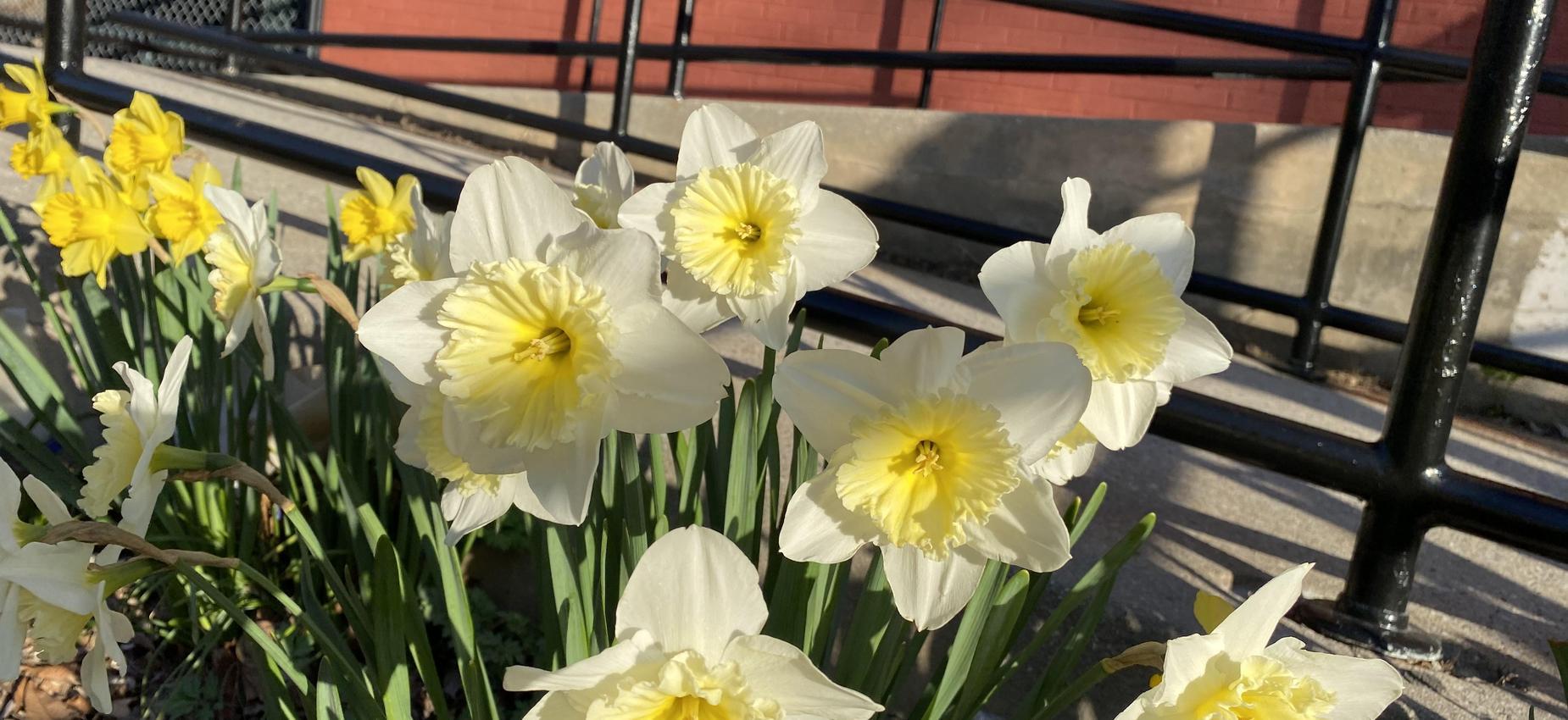 Daffodils in the school yard