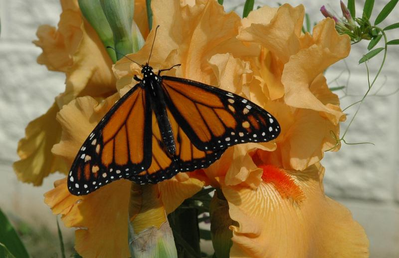 Monarch butterfly on an iris bloom in the school's courtyard.