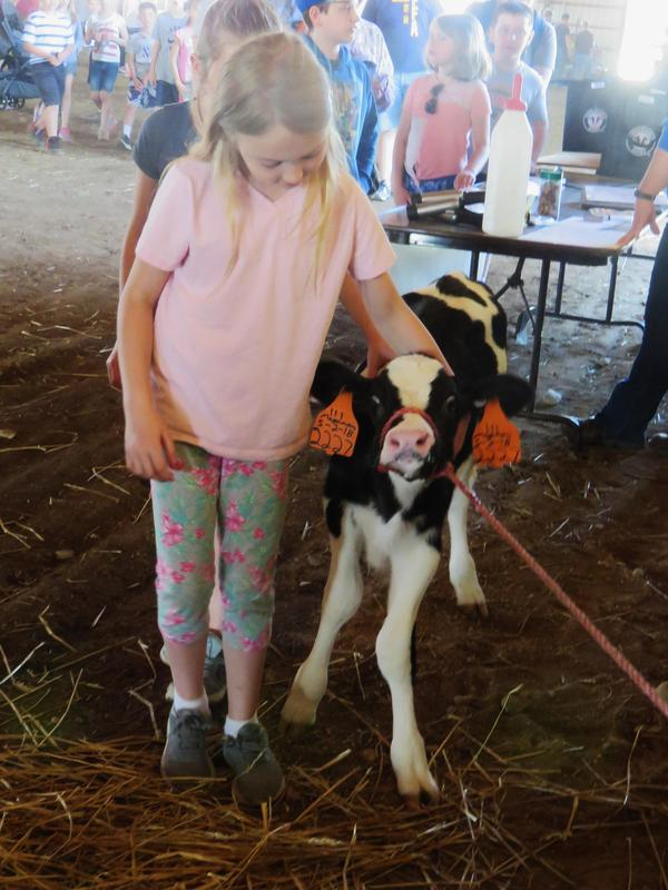 A baby calf was the center of attention at the dairy station.