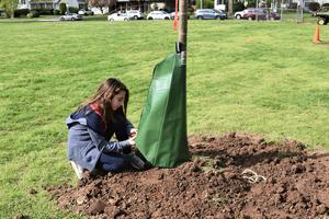 "Jefferson School 5th grader Sarah Weinberg installs a so-called ""gator bag"" around one of more than 20 trees planted around the school as part of an Arbor Day project."