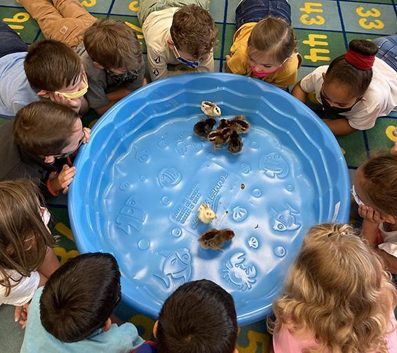 students observe baby chicks behavior