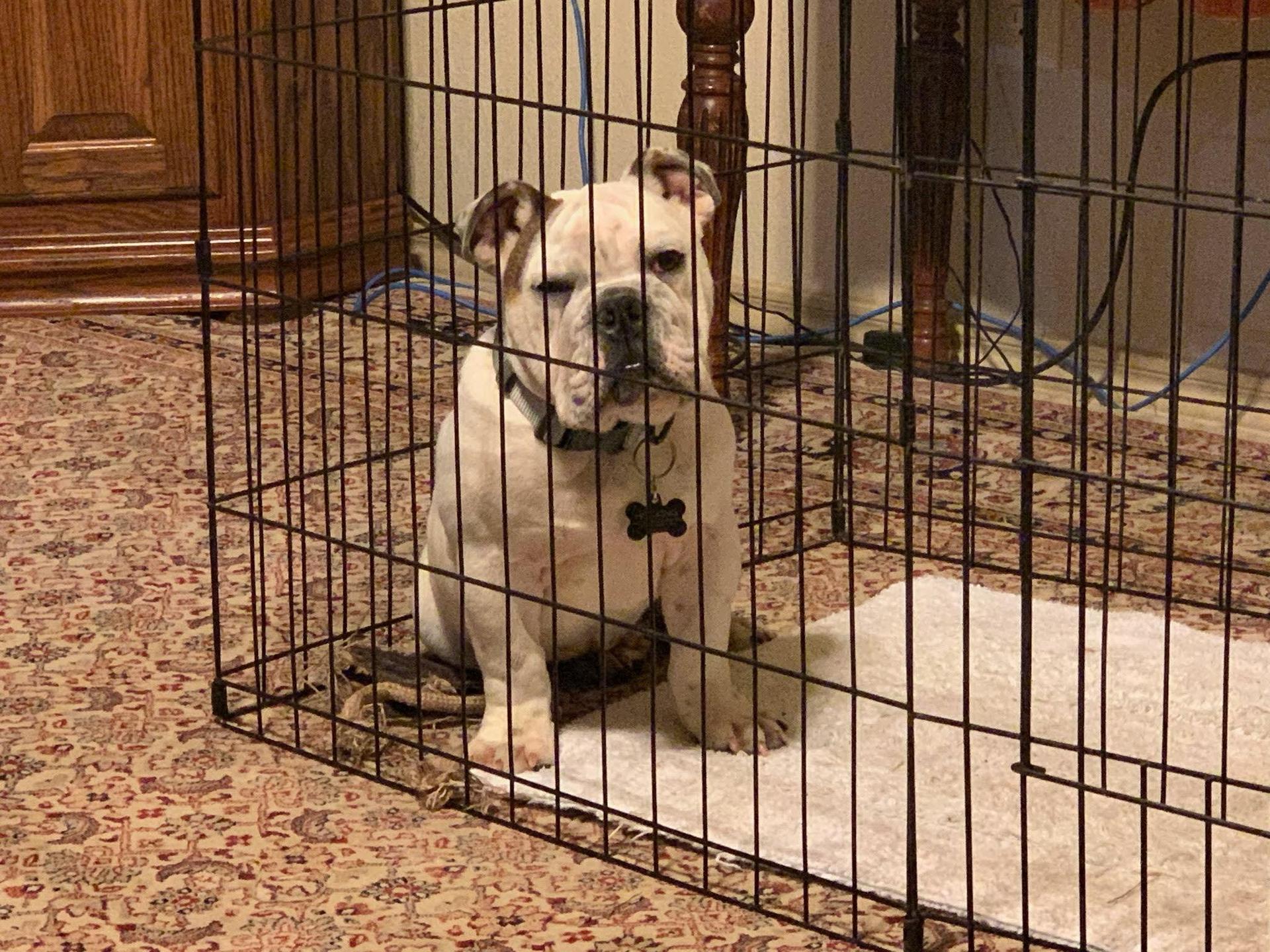 Arthur - My English Bulldog