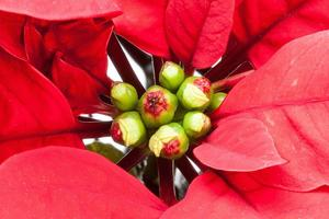 poinsettia-red-plant-leave.jpg