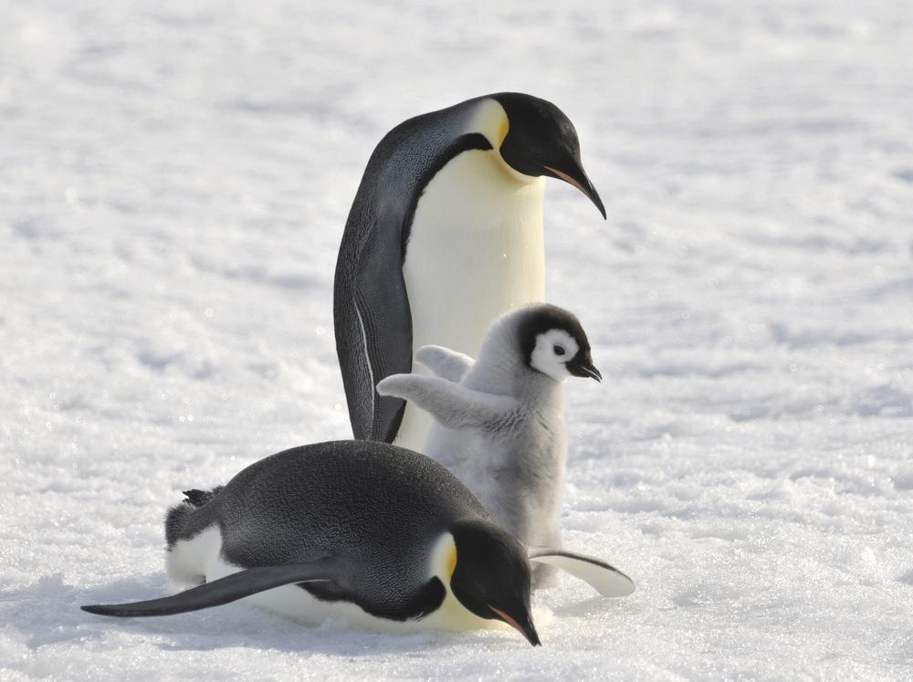 Penguin Family teaching baby