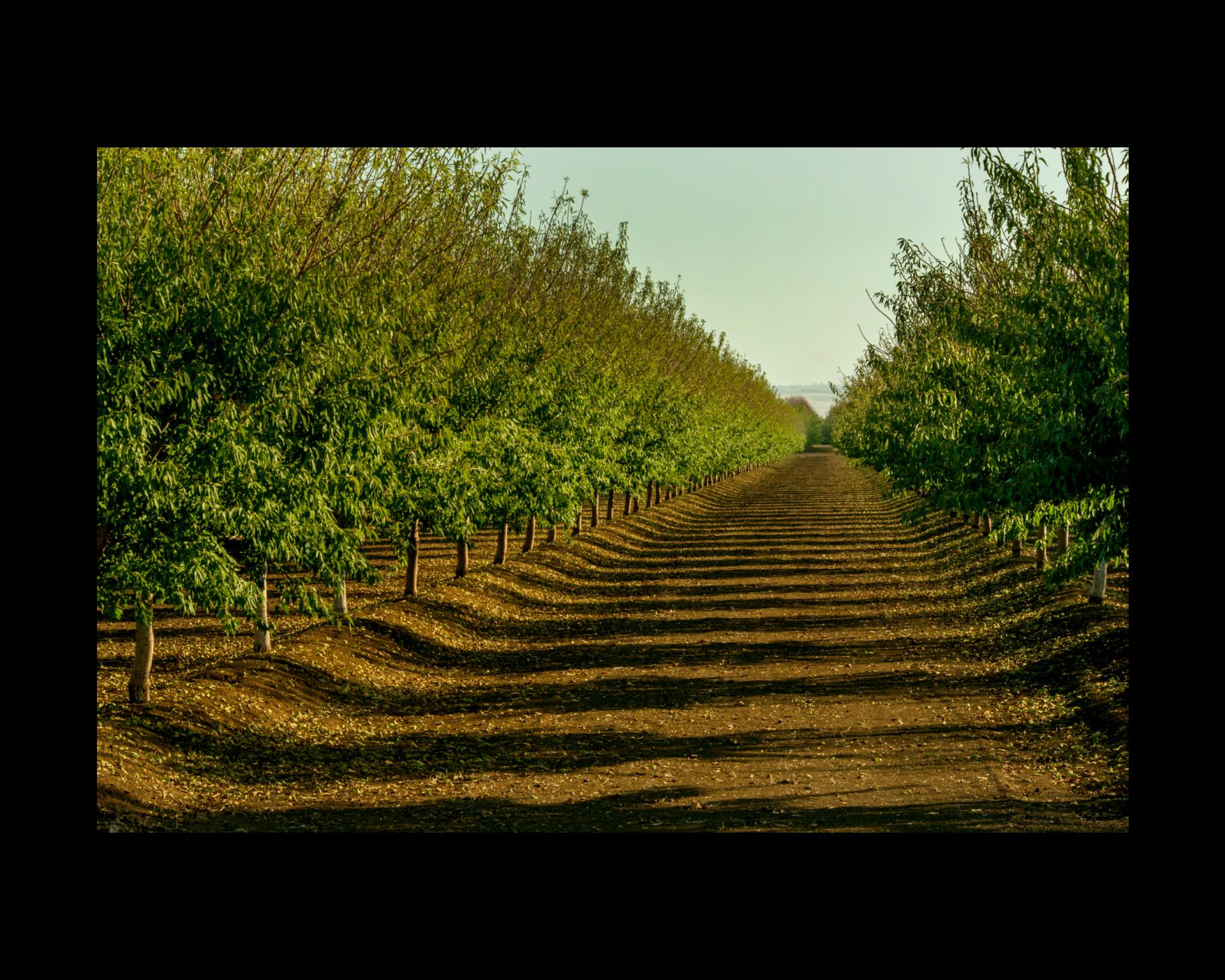 Almond tree crop row