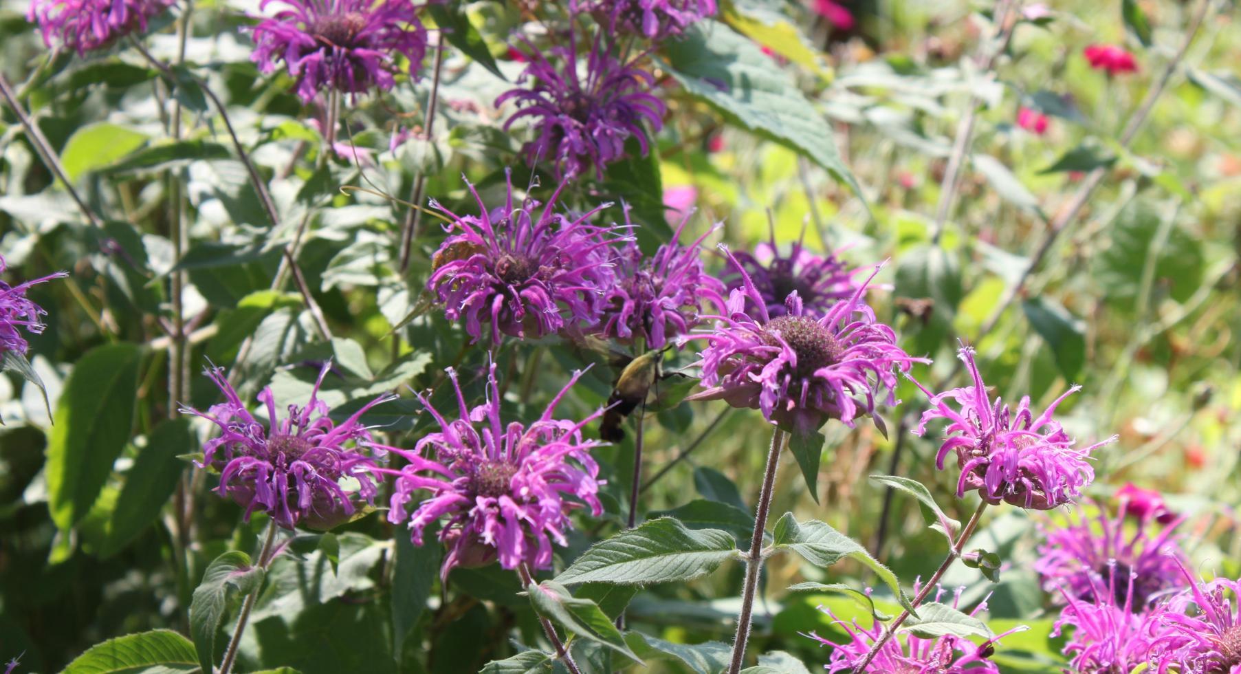 Lavender Monarda in Butterfly Garden