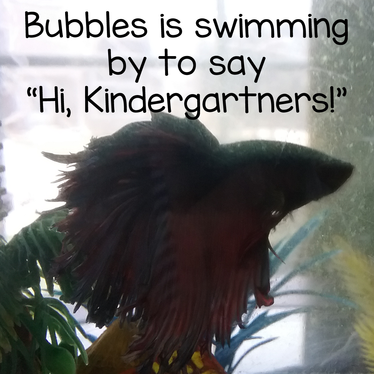 Bubbles the Betta Fish