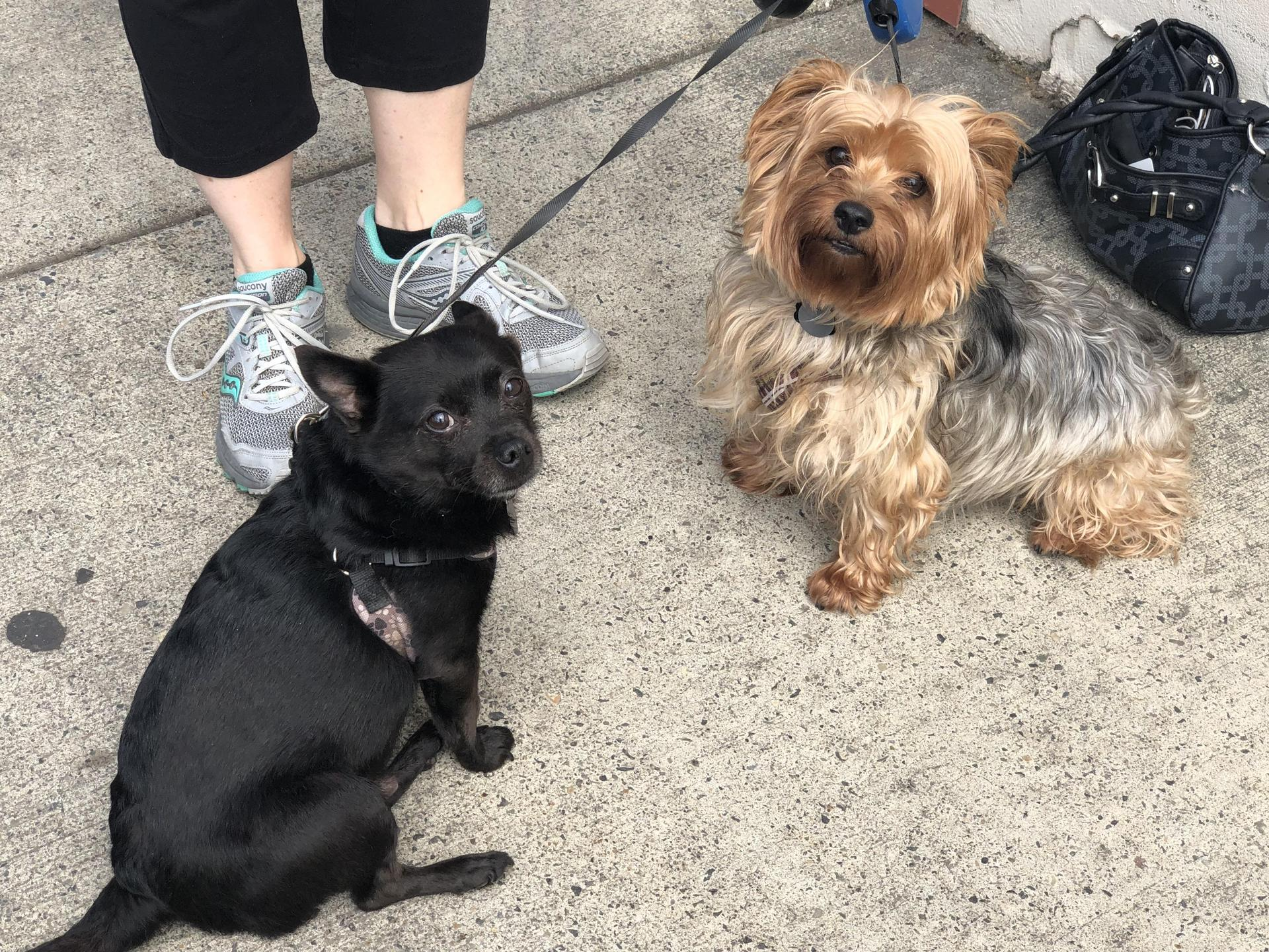 Our dogs a Schipperke named Pepe and our Yorkie named Buddy.
