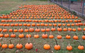 Photo of rows of pumpkins.