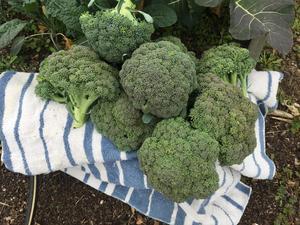 Fresh broccoli from JLL garden