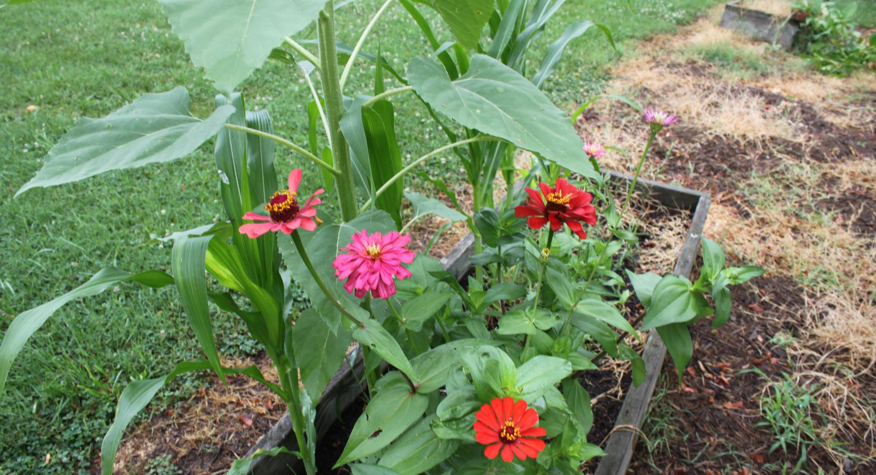 Zinnias in school garden