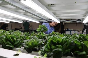 Student harvesting lettuce.