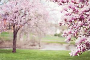 magnolia-trees-556718_640.jpg