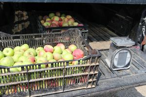 Image of apples loaded in carts.