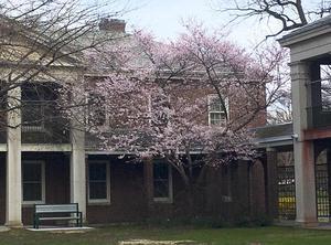 Blooming Tree near Infirmary