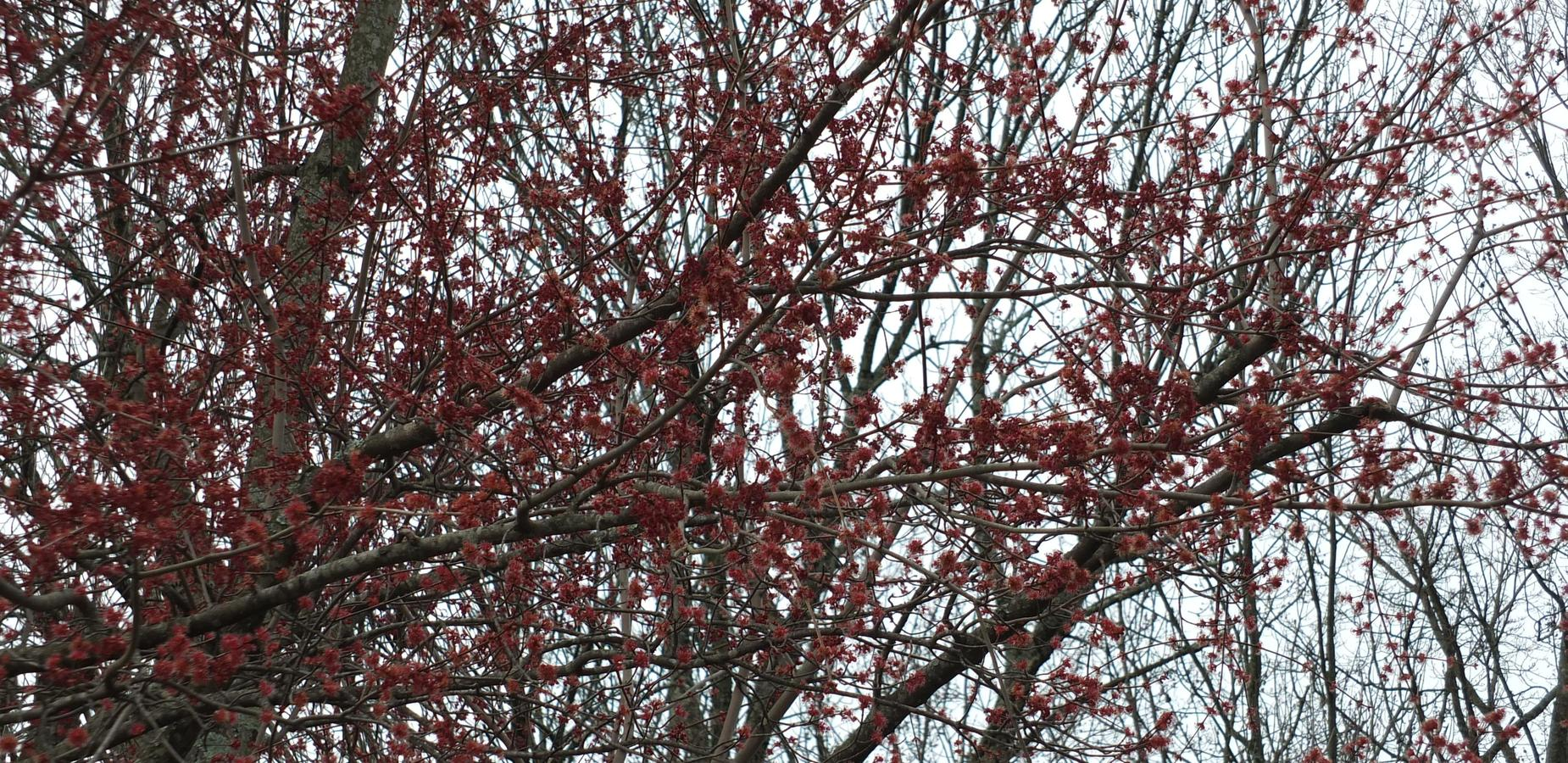 Redbuds Starting to Bloom