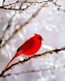 Cardinal sitting in an icy bush