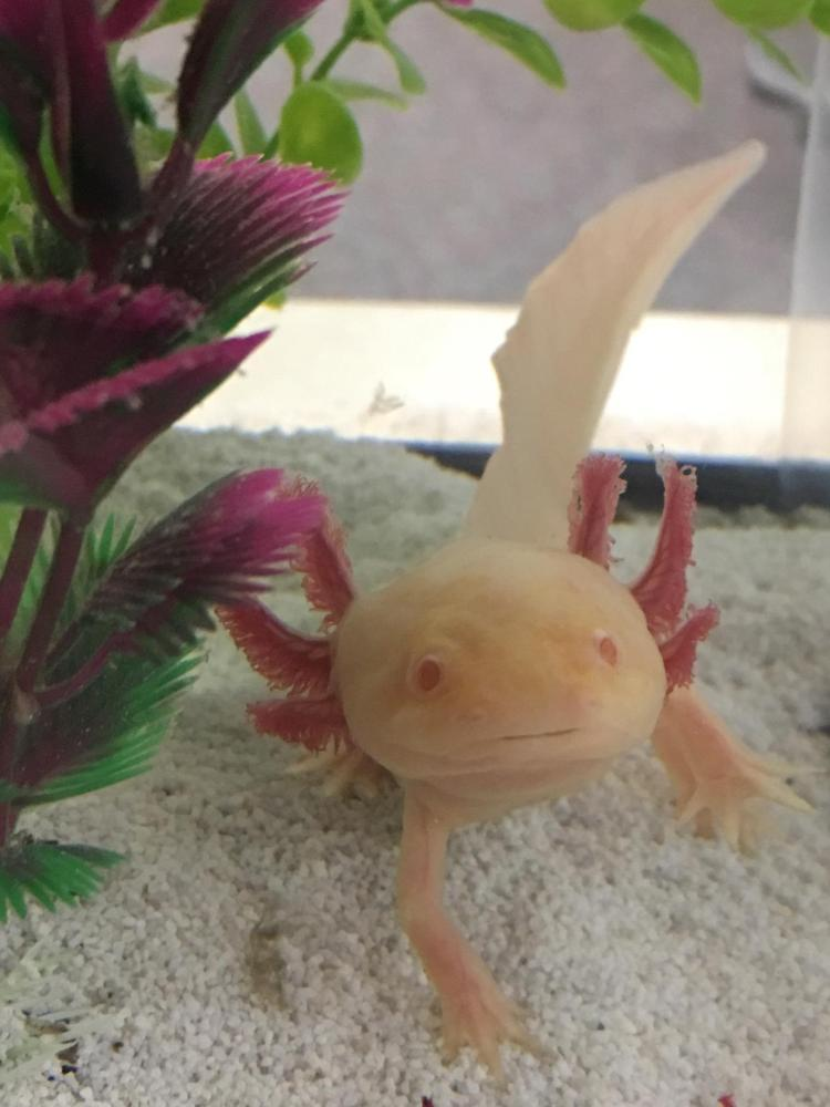 Axol the axolotl