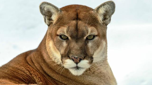 Cougar Team