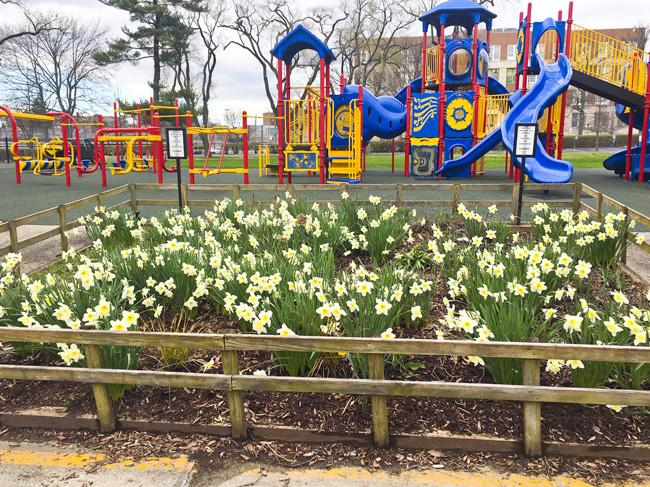 Daffodil bloom at the main playground