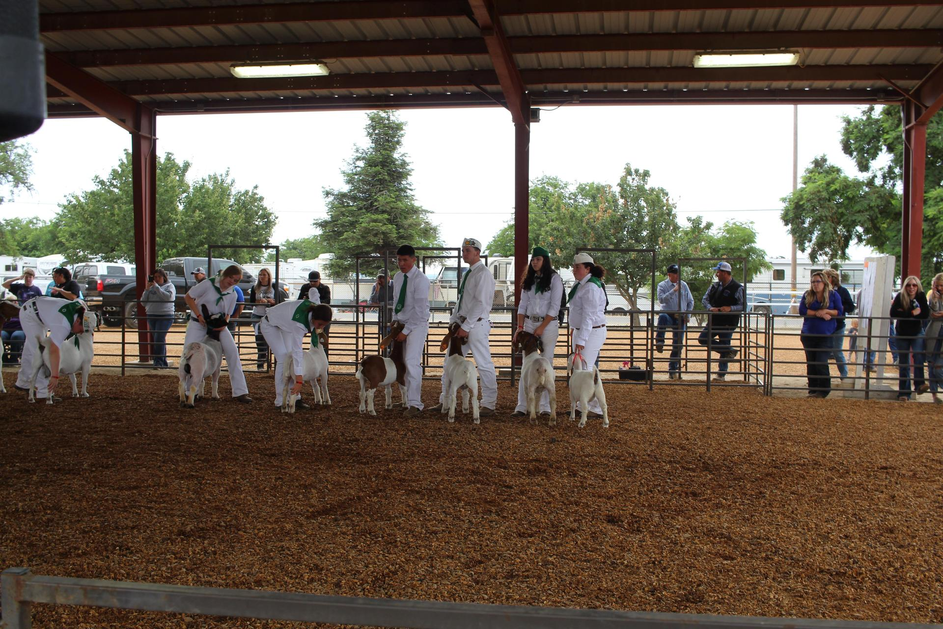 4 H students showing their livestock for judging.