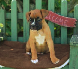 Boxer Pup Camp Featured Photo