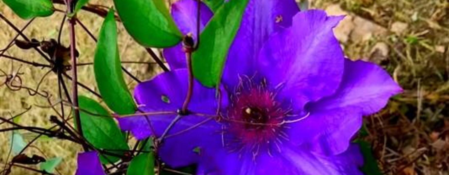 purple vine beauty