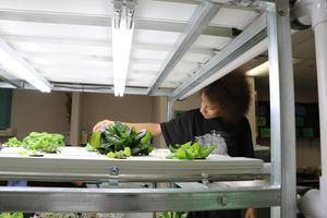Student watering lettuce.