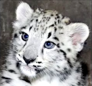 April Fool's ... This isn't Campus Ministry! It's a Snow Leopard.