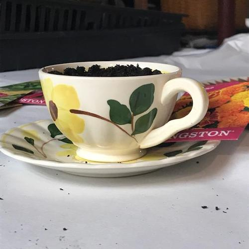 Marigold seeds and soil in a teacup
