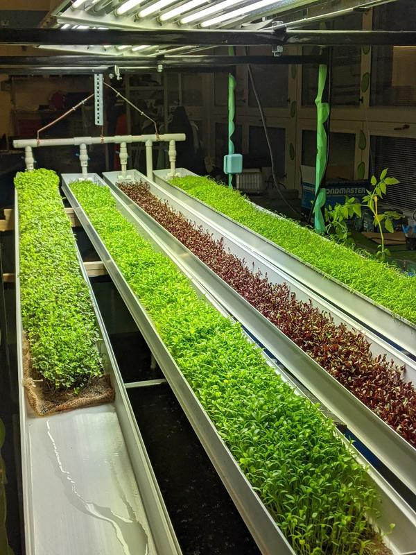 Microgreens growing in Aquaponics bed.