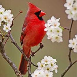 Cardinal amid blooms.