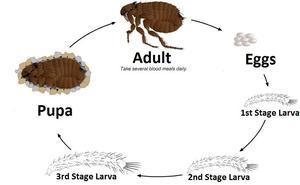 Flea-life-cycle.jpg