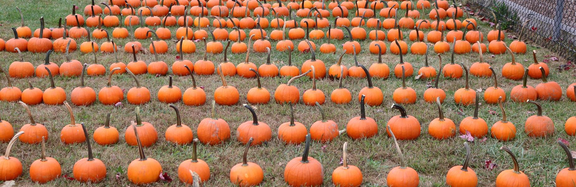 Photo of rows of pumpkins at annual Pumpkin Patch.