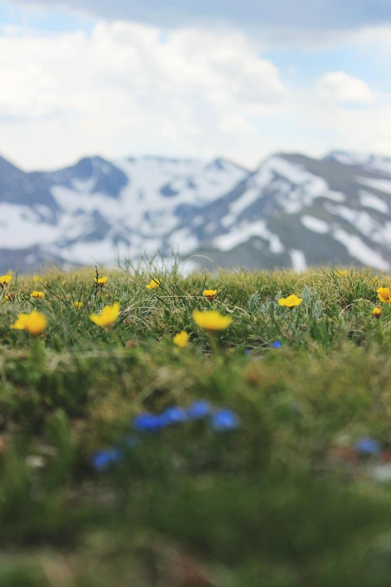 shallow focus photo of yellow flowers in front of a snowy mountain