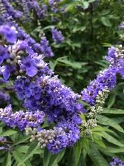 Bees on my Butterfly Bush