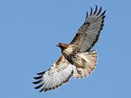Hawk soaring in the sky