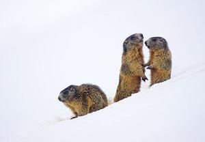 marmot-2366423_640.jpg